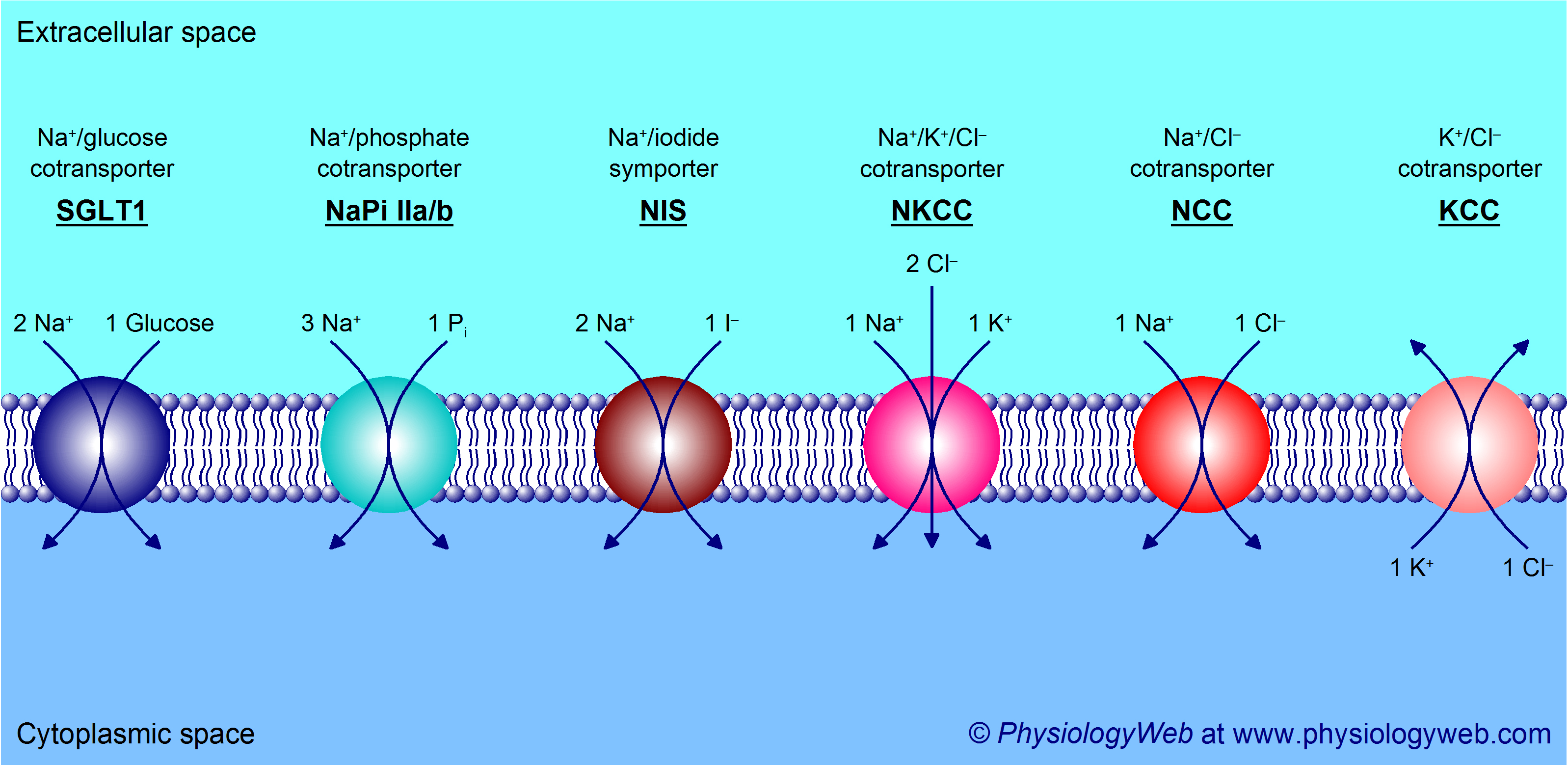 Examples of cotransporters (also known as symporters) - Part 1.