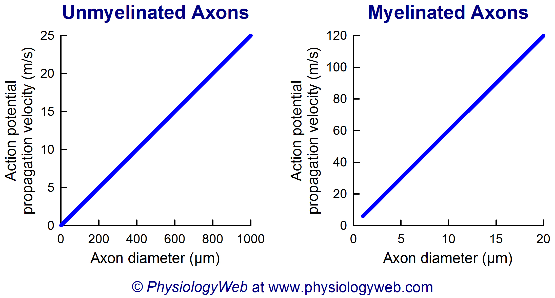 Action potential propagation velocity along unmyelinated and myelinated axons.