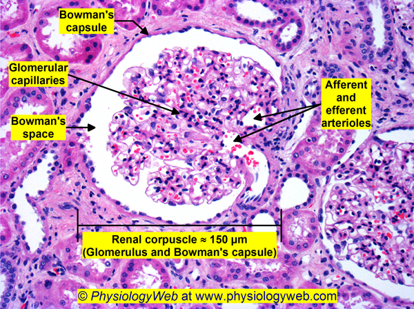Renal corpuscle. Click for higher resolution image.