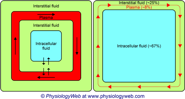 Three major body fluid compartments: Intracellular fluid, interstitial fluid, and plasma. Click for additional details.