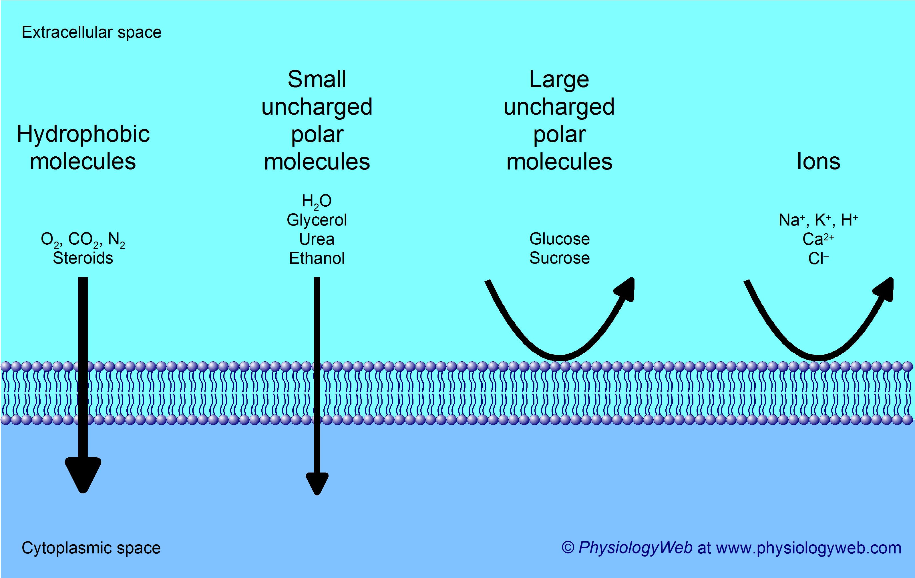 Lipid Bilayer Permeability Physiologyweb