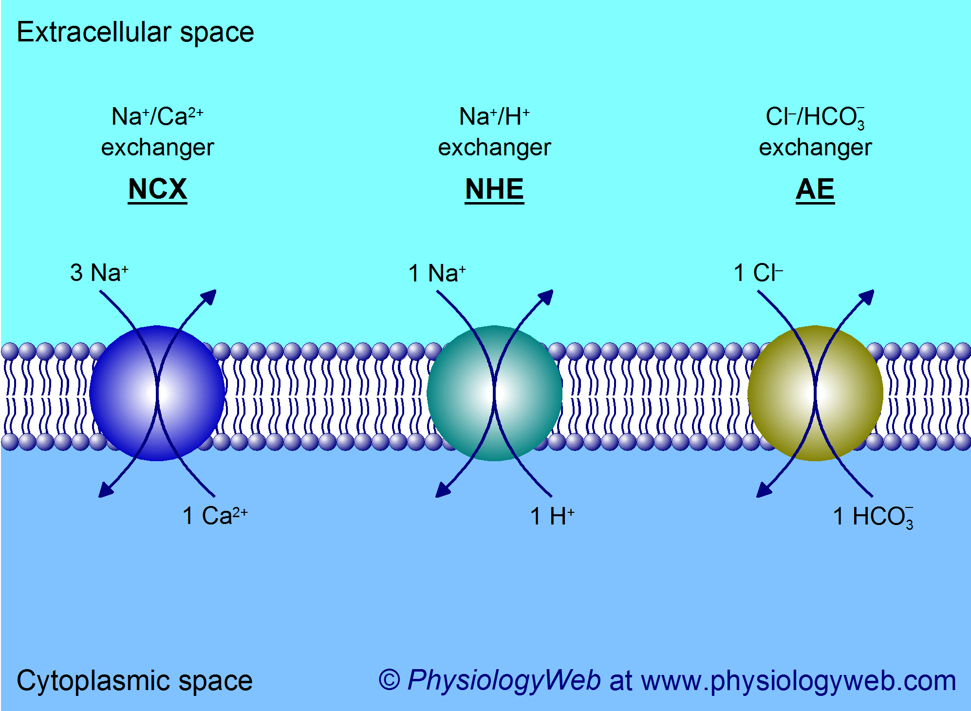 Secondary active transport - Examples of exchangers (antiporters)