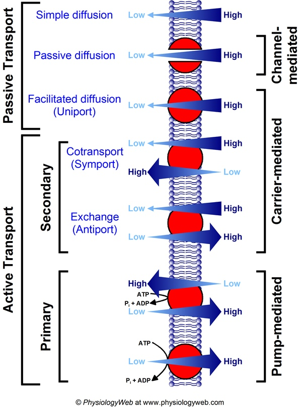 Summary of membrane transport processes.