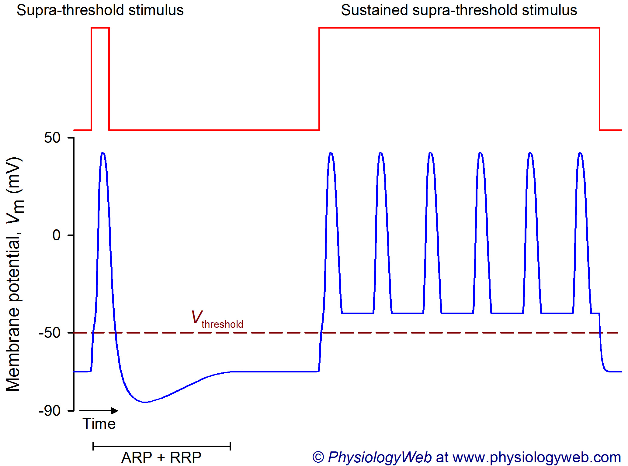 Frequency coding in the nervous system: Supra-threshold stimulus