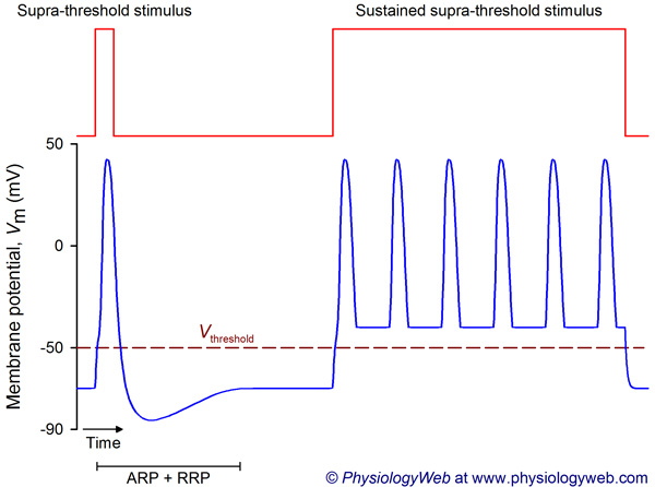 Frequency coding in the nervous system: Supra-threshold stimulus.