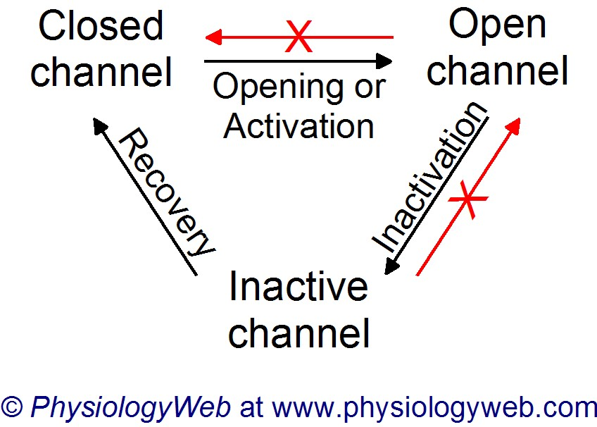 Sodium channel activation, inactivation, and recovery from inactivation