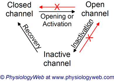 Sodium channel activation, inactivation, and recovery from inactivation.