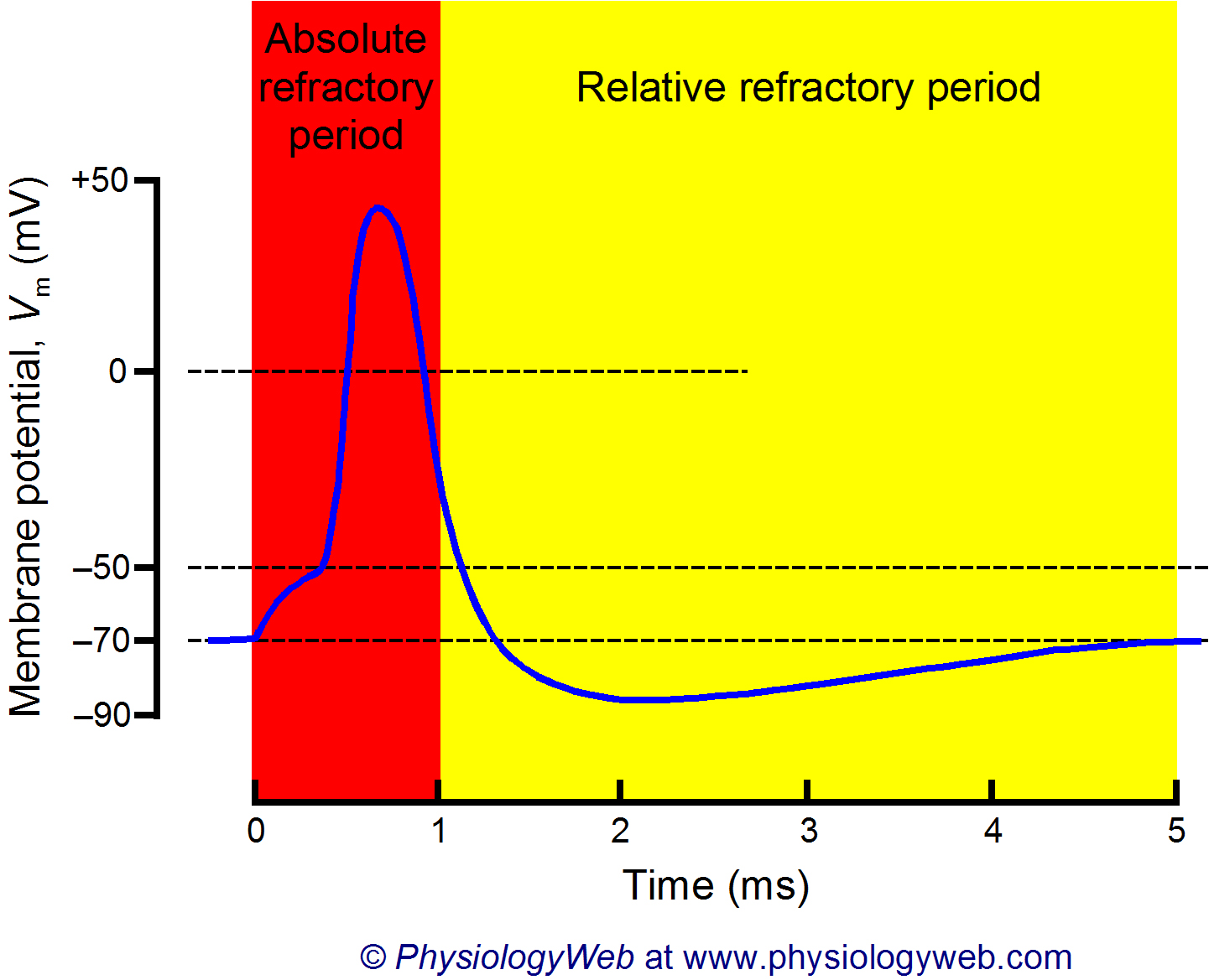 Absolute and relative refractory periods of neurons