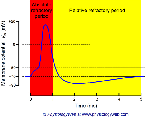 Absolute and relative refractory periods of neurons.