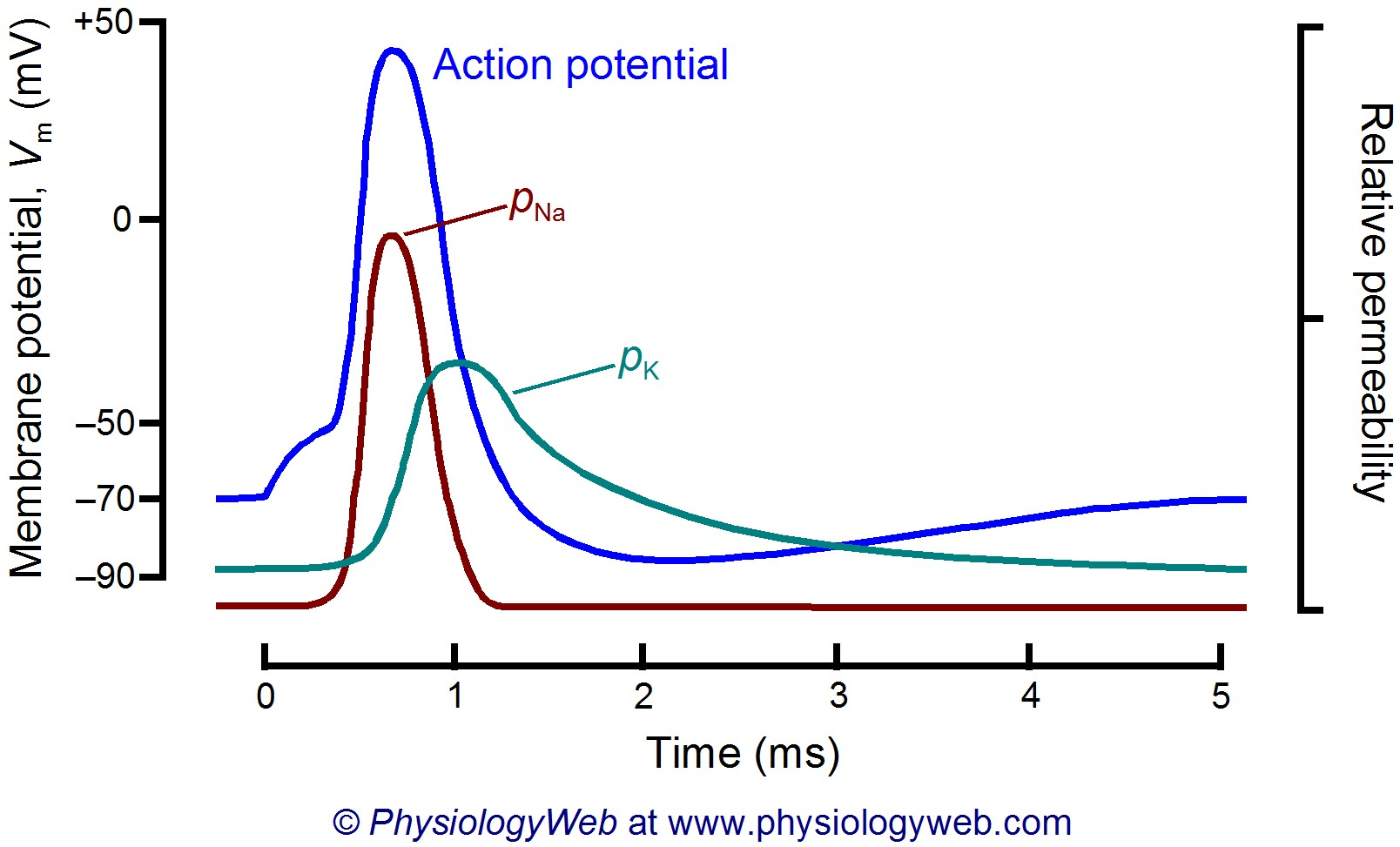 Time course of sodium and potassium permeability during the neuronal action potential