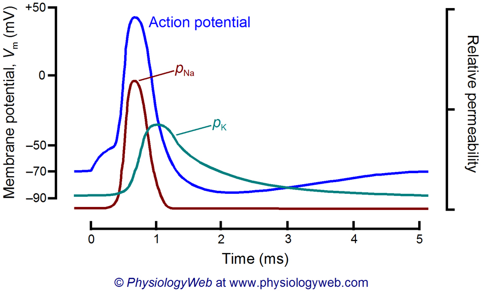 Time course of sodium and potassium permeability during the neuronal action potential.
