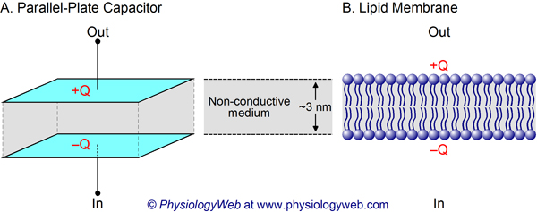 Biological membrane as capacitor.