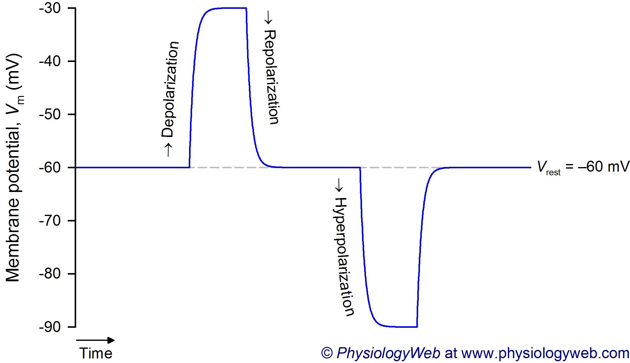 Depolarization, repolarization, and hyperpolarization