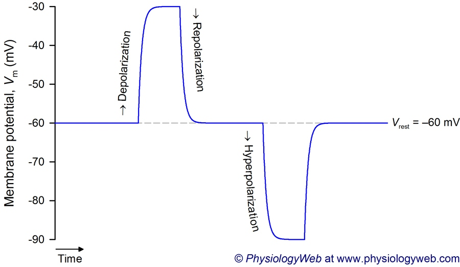 Depolarization, repolarization, and hyperpolarization.