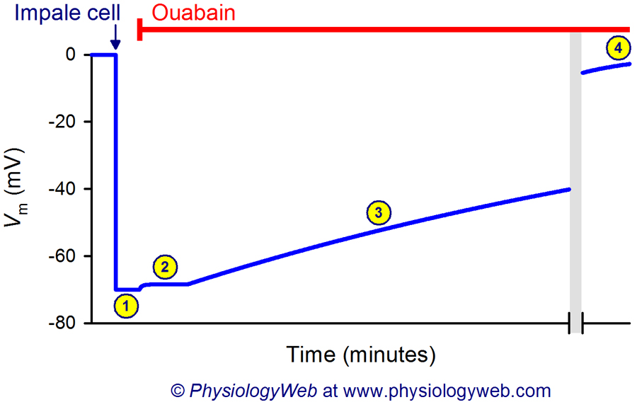 Effect of ouabain on the membrane potential.