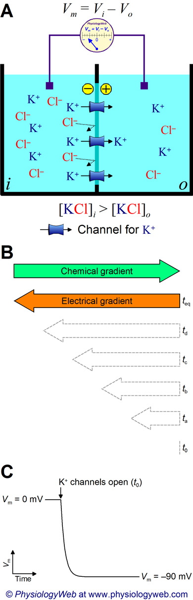 Two solution compartments separated by a membrane that contains potassium (K+) channels.