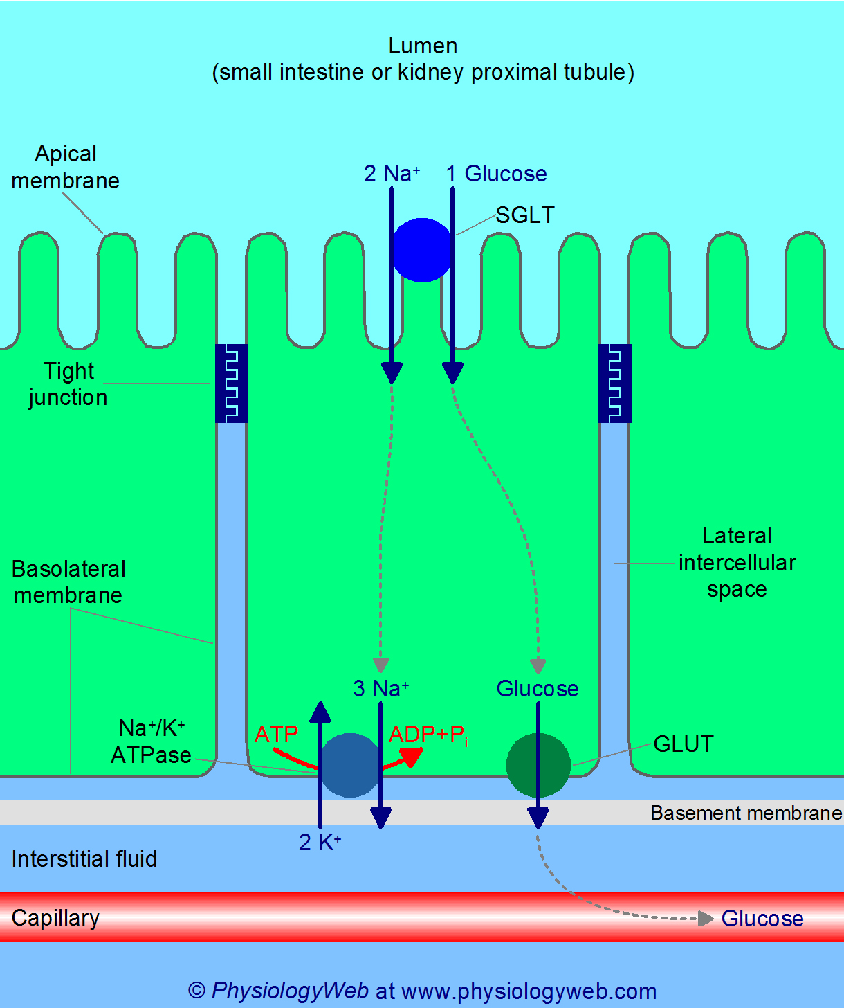 Transepithelial glucose transport in the small intestine and kidney proximal tubules
