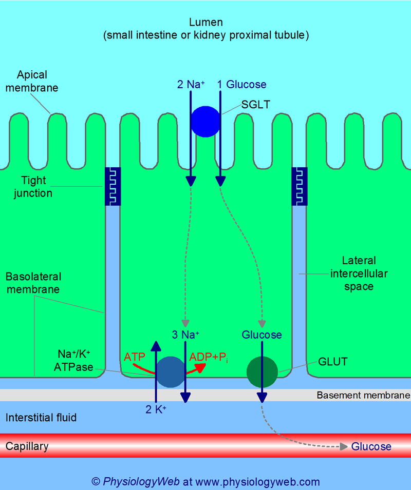 Transepithelial glucose transport in the small intestine and kidney proximal tubules.