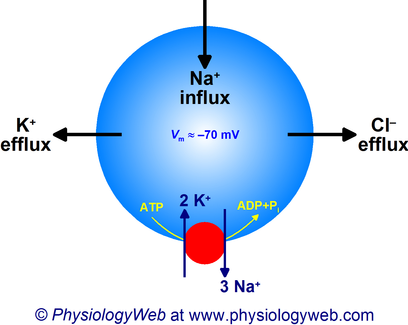 Potassium efflux, sodium influx, and chloride efflux under resting physiological conditions